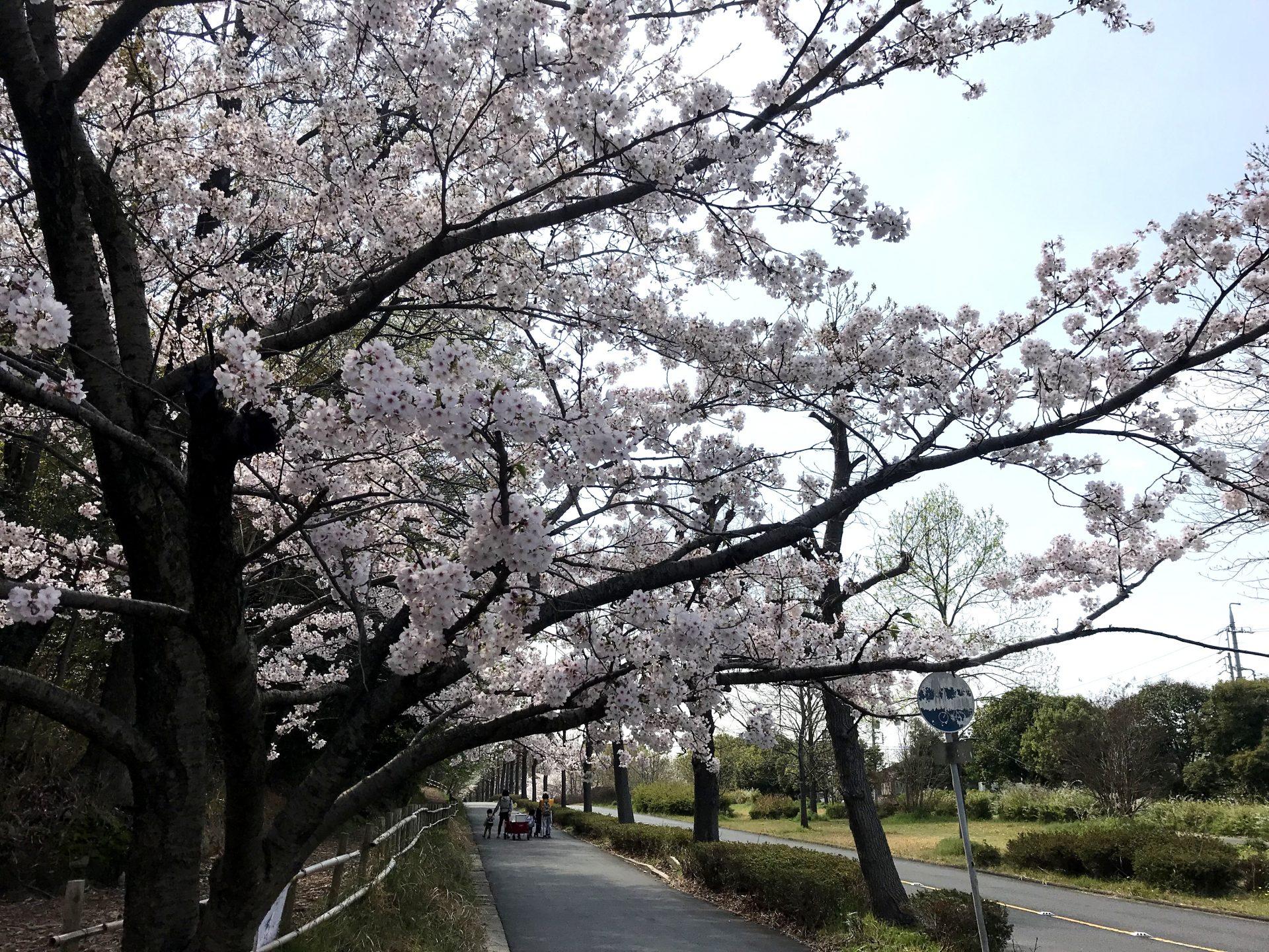 大高緑地桜2020年